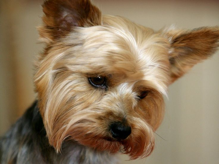 Yorkshire Terrier Puppies For Photos - The Dog Wallpaper - Best ...