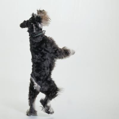 If you have a mini schnauzer who digs up your plants, barks incessantly, chews better than any teething baby, jumps on your furniture and is just plain wearing you out, calm this doggy down. Mini schnauzers, being terriers, are prone to hyperactivity, but you can show him who's boss.