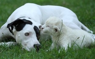 So precious! After a white lion cub was separated from his mother, this mutt adopts it!