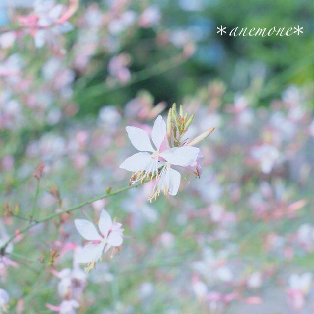 #ガウラ#ハクチョウソウ #白蝶草 #butterfly gaura #gaura #clockweed