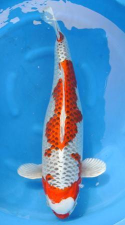 159 best images about fish on pinterest. Black Bedroom Furniture Sets. Home Design Ideas