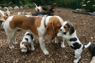 A Mother Beagle's work is never done...Get down Junior! .