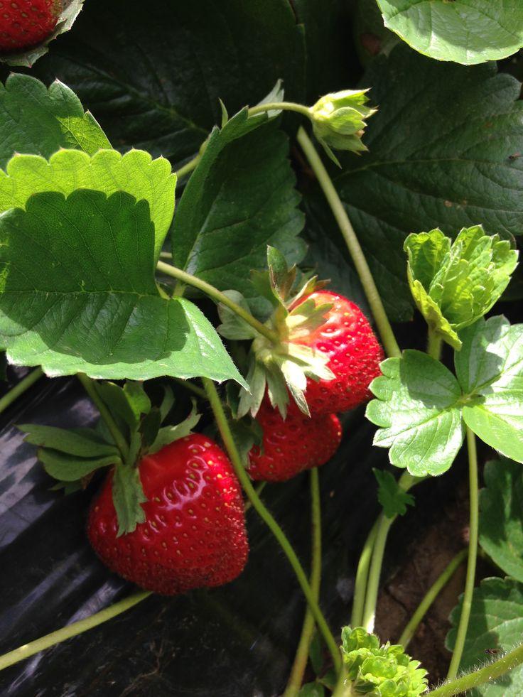 Fresh strawberries...