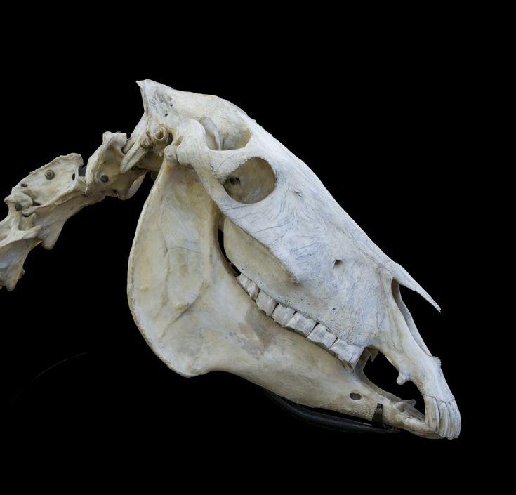 Лошадиный череп картинка