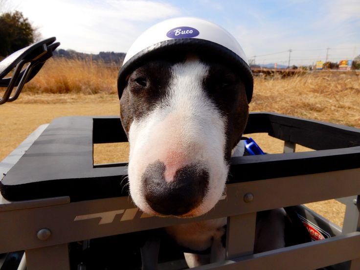 Resultado de imagen para Bull Terrier 犬 車で旅行する