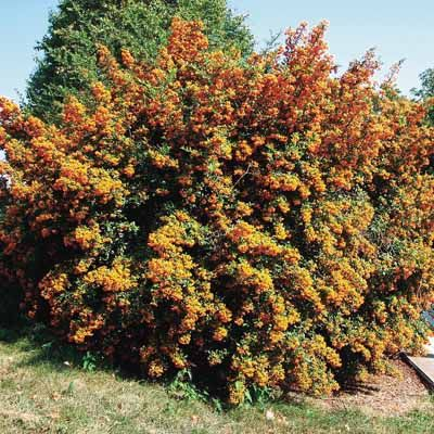 Firethorn spiky impenetrable thorny bush (Pyracantha)  good in sun, drought resistant up to 6m tall. Berries white flowers , orange and red berries, Foliage all year