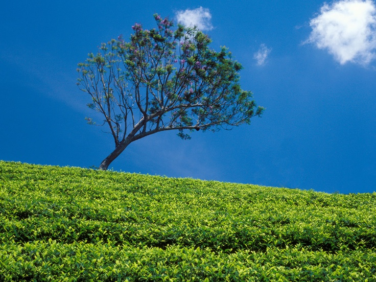 """~ by Photographer Z.M. Thoma at """"Tea in the First Sense"""" Gallery - http://teainthefirstsense.dilmahtea.com"""