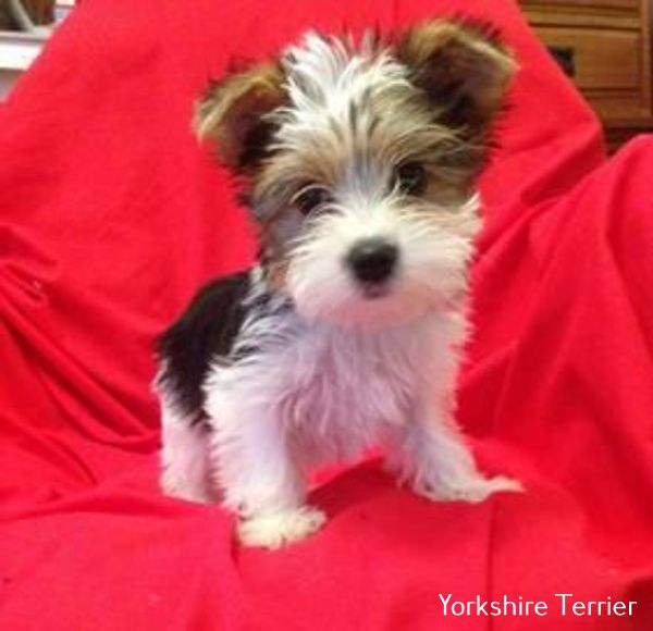 All About Yorkshire Terrier Full Grown in 2020 | Yorkie ...