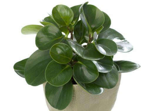 peperomia obtusifolia  - american rubber plant