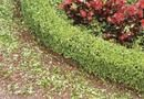 How to Keep Boxwood Evergreens From Turning Yellow | Home Guides | SF Gate
