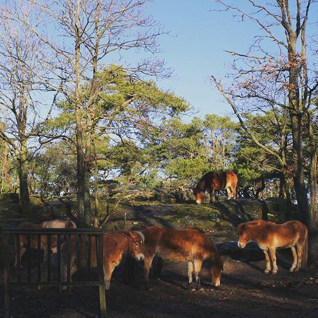 【kurragomma_jp】さんのInstagramをピンしています。 《ヨーテボリ市民の憩いの場、広大な敷地を持つ公園、スロットスコーゲンで飼われているスウェーデン原産の馬たち。この他にも、ヘラジカ、トナカイに始まり、ペンギンやアザラシもいます。無料で見られます。  #北欧 #北欧雑貨 #スウェーデン #ヨーロッパ #生活 #日々の暮らし #散歩 #街歩き #公園 #自然 #森 #動物 #馬 #クラユンマ》