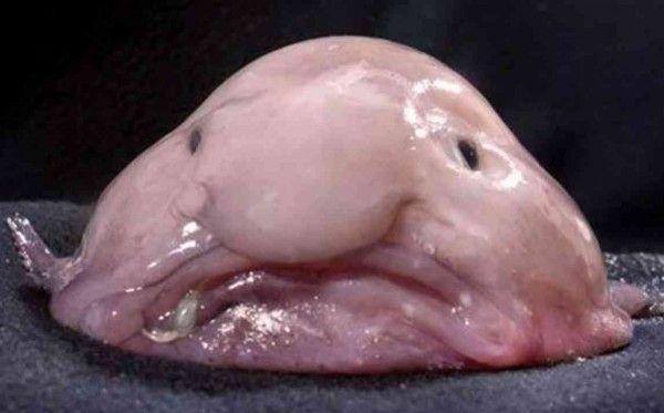 """Blobfish: Akışkan bir jel kıvamındaki bu balık sudan biraz ağır olduğu için çaba sarfetmeden yüzüyor, okyanusların """"tembel hayvanı"""". Çirkin Hayvanları Koruma Derneği'nin de maskotu. Damla balığının Avustralya'nın güney doğusundaki adalarda ve Tazmanya civarında 600 ila bin 200 metrede yaşadığı, yengeç ve ıstakozla beslendiği biliniyor. Yenilebilecek balık değildir. Ağlara takıldığı için soyu tükeniyor."""