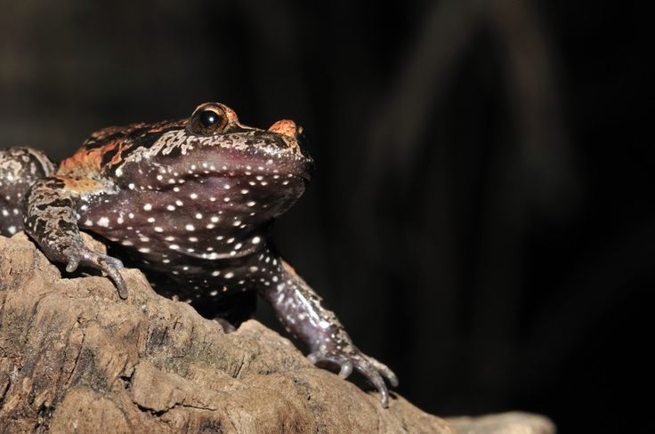 """Rediscovered """"Extinct"""" Frog is Not Only Alive — It's a Living Fossil http://blogs.discovermagazine.com/d-brief/2013/06/04/rediscovered-extinct-frog-is-not-only-alive-its-a-living-fossil/#.Ua4k85V5n8s"""