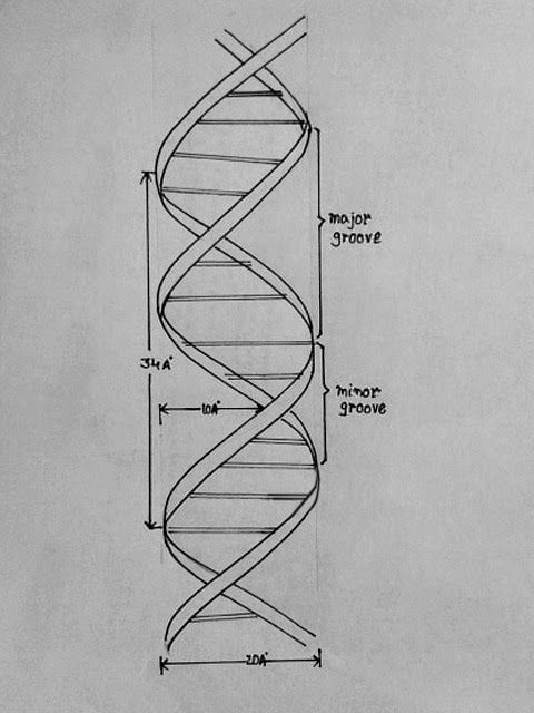 dna complementarity diagram draw it neat : how to draw dna | design. | pinterest | dna, tattoo and dna tattoo dna structure diagram drawing #3