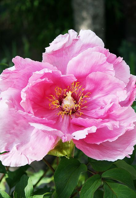 "Peony ""Duchess of Marlborough"" 