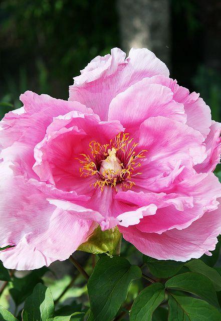 "Peony ""Duchess of Marlborough""   Flickr - Photo Sharing!"