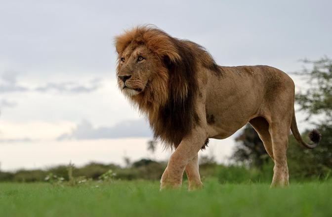Льва в лагерь Момбо, Дельта Окаванго, Ботсвана Сергей…