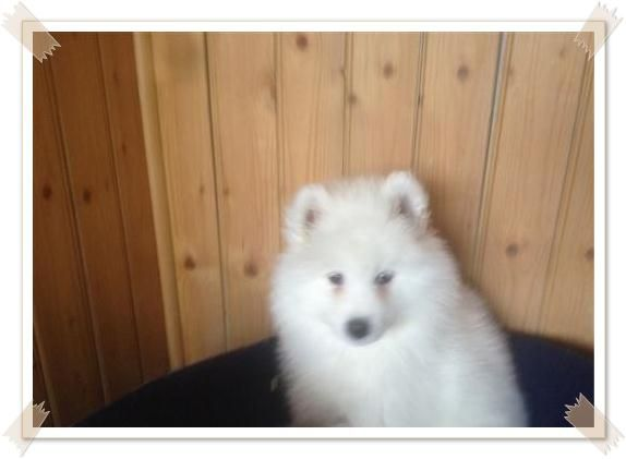 Want to sell 8 weeks old cute Samoyed puppies in Plymouth =http://samoyedpuppies.net/samoyed-puppies-for-sale-plymouth/
