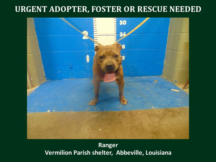 ***SUPER SUPER URGENT!!!*** - PLEASE SAVE RANGER!! - EU DATE: 8/6/2015 -- Ranger Breed:Pit Bull Terrier Age: Adult Gender: Male Size: Large Location: Kaplan, LA  Read more at http://www.dogsindanger.com/dog/1438195198771#holwTTScrsj868lq.99 - About Ranger: 7/27/15-S Ranger is a male Pit and is 6 yrs old and weighs 63.8 lbs.Will be available 8-01-15 http://www.youcaring.com/aava-402771 *Please note this animal is not with AAVA - we are networking for rescue as the liaison for the shelter*