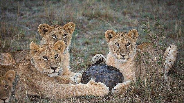 #animaux #images #nature #lion #pangolin