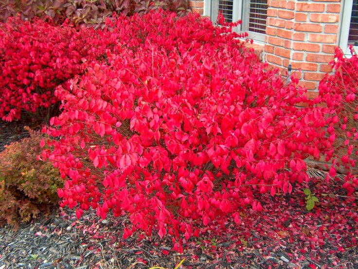 Burning Bush Euonymus shrubs are known for their red fall foliage, feeds the birds in the winter. Buy Burning Bush Euonymus online at Garden Goods Direct.