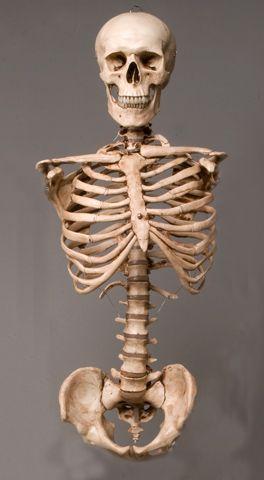 Image result for torso skeleton