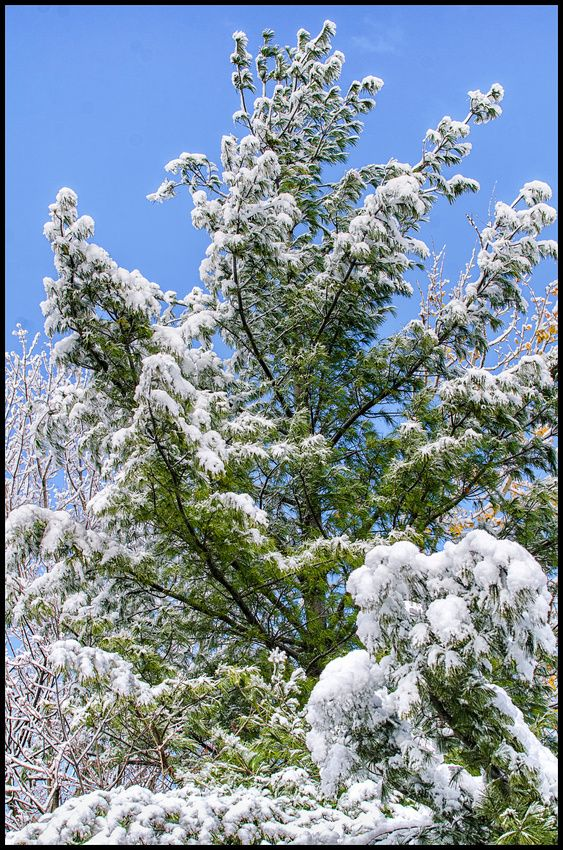 Snow covered pine tree.