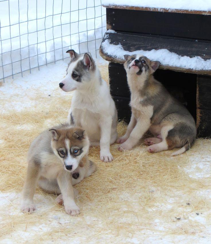 Cute sled dog puppies at Lammintupa Café, Ruka Kuusamo