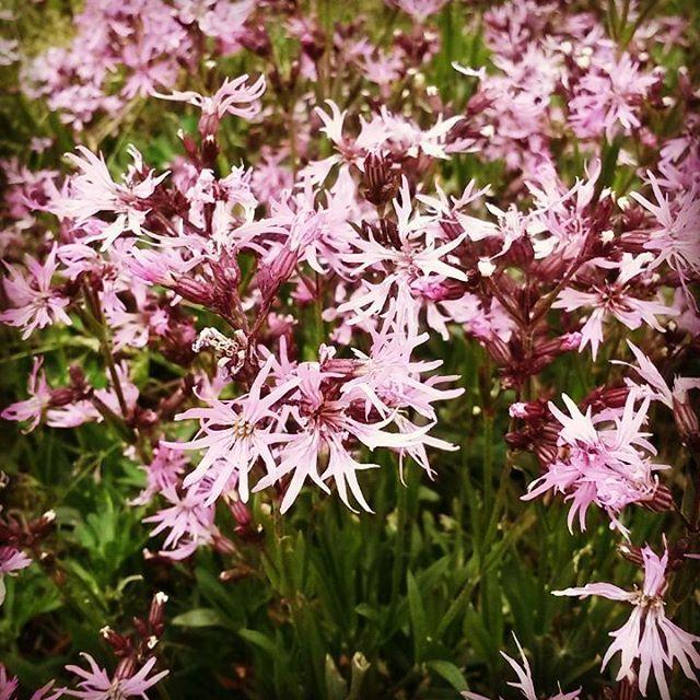Jetzt blüht auch meine #Kuckkuckslichtnelke ☺ für die #Bienen und später für #blumensamenmischung  Da summen die #Bienen #Honig #Honigbienen ❤  #Agrarbetrieb #Blumenwiese  #Blumenfeld #Blumenwiesenpatenschaft ❤