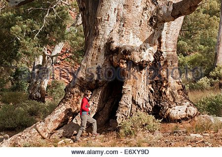 Image result for gum tree Brachina Gorge, Flinders Ranges