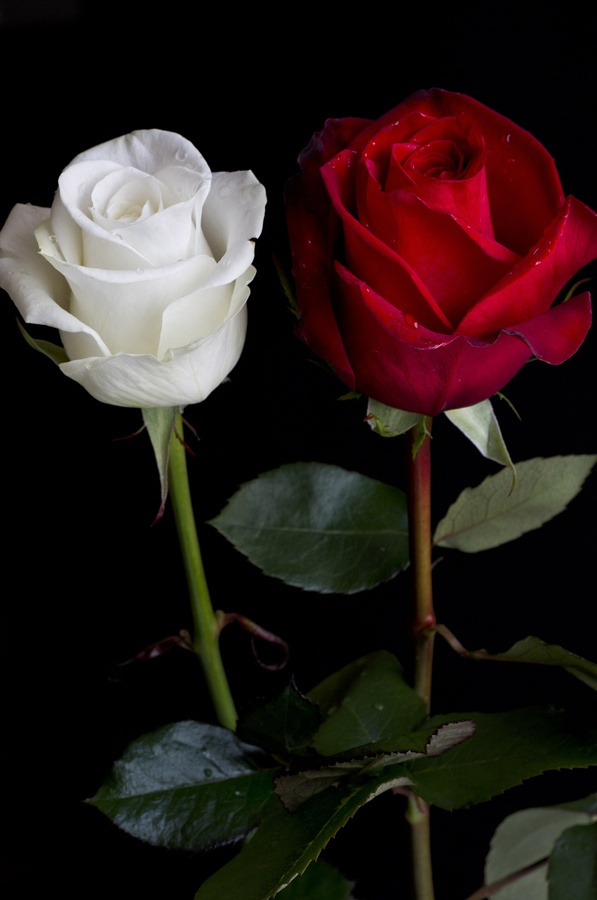 .....Roses de Sant Jordi !? by Albert Homs, via 500px