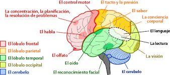 Resultado de imagen de partes del cerebro en español