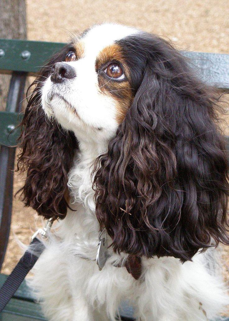 Cavalier King Charles Spaniel Cute Dog
