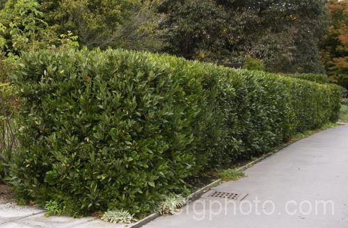 The Bay Tree (Laurus nobilis) makes a superb, low water demanding and culinary useful hedge.