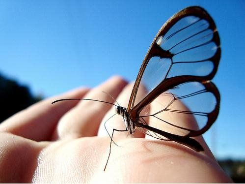 Borboleta Transparente    Bastante comum na América Central, especialmente no México e no Panamá, a borboleta transparente tem esse nome devido à falta de coloração em suas asas. Na verdade essa característica da borboleta transparente é um mecanismo de defesa contra predadores.