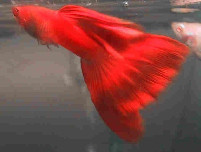 Super Albino Red Guppy