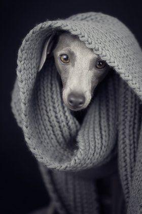 I want an Italian Greyhound to go with my Oriental Shorthair cat!