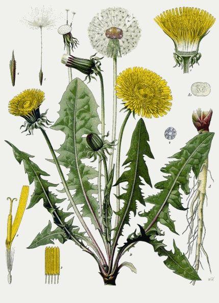 pissenlit-herbier.gif 429×592 pixels