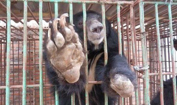 EXPOSED: #Bear #BileFarm horror just moment from one of the world's most popular tourist spots http://www.express.co.uk/news/nature/549891/Bear-bile-farms-horror-Vietnam-tourist-spot…