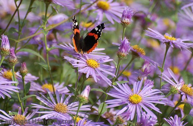 Red Admiral on Aster x frikartii 'Monch'    Harriet Rycroft (HarrietRycroft) on Twitter