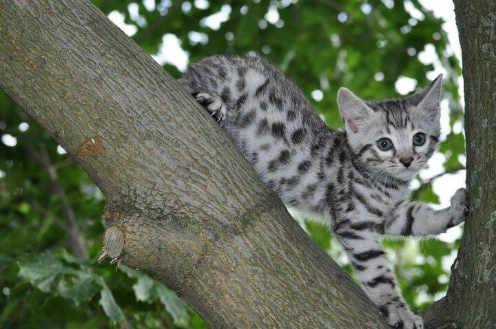 Black spotted silver kitten! Want! Kittens, Bengal