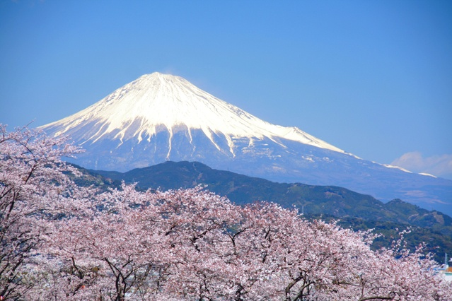 Mt. fuji with cherry blossoms in Japan.