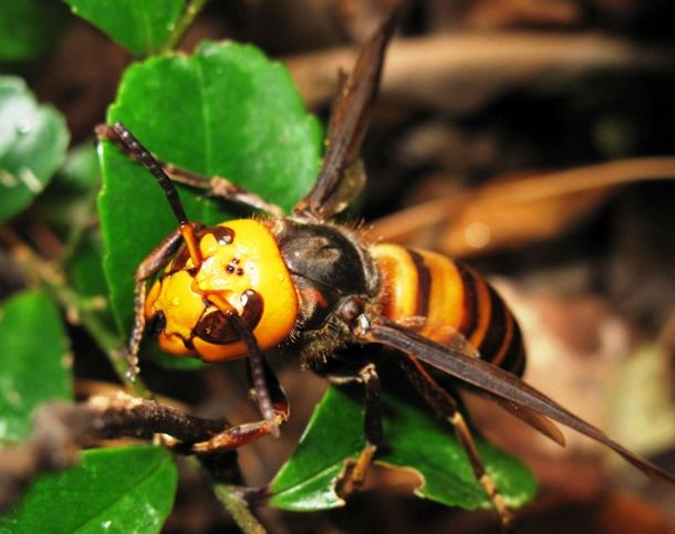 Japanese Giant HornetEndemic to Japan, the Japanese giant hornet is a subspecies of the world's largest hornet, the Asian giant hornet. The Japanese giant hornet can be very aggressive when provoked. Its venom, which is injected by the 6.25 mm (.24in)-long stinger, attacks the nervous system and damages the tissue of its victims.