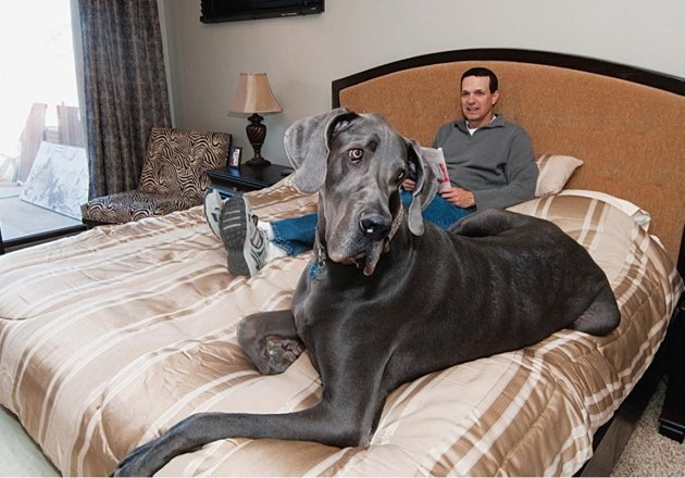 George the Guinness World Record Holding Great Dane - he weighs 245lbs and is 43 inches tall!