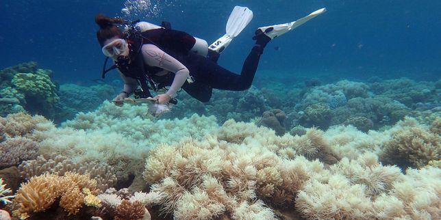 Les coraux ont subi deux années consécutives de blanchissement dû à la hausse des températures.