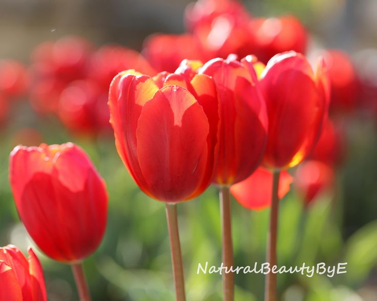 Group of red tulips print, flower garden view, backlit for interesting colours, flower photography, nature, fine art print, floral wall art by NaturalBeautybyE on Etsy