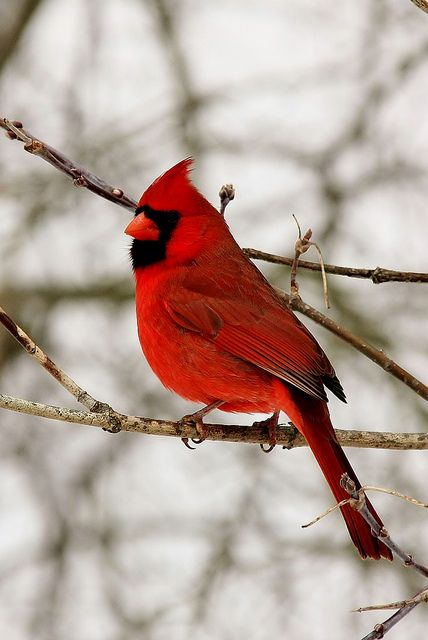 The cardinal is a representiave of a loved one who has passed. When you see one it means they are visiting you.They usually show up when you most need them or miss them. They also make an appearance during times of celebration as well as despair to let you know they will always be with you. Look for them, they'll appear.