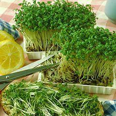 Витаминный салат растет в тарелке. Выращивать кресс-салат на подоконнике гораздо проще, чем в огороде. Вам даже земля не потребуется. Убедитесь в этом сами.