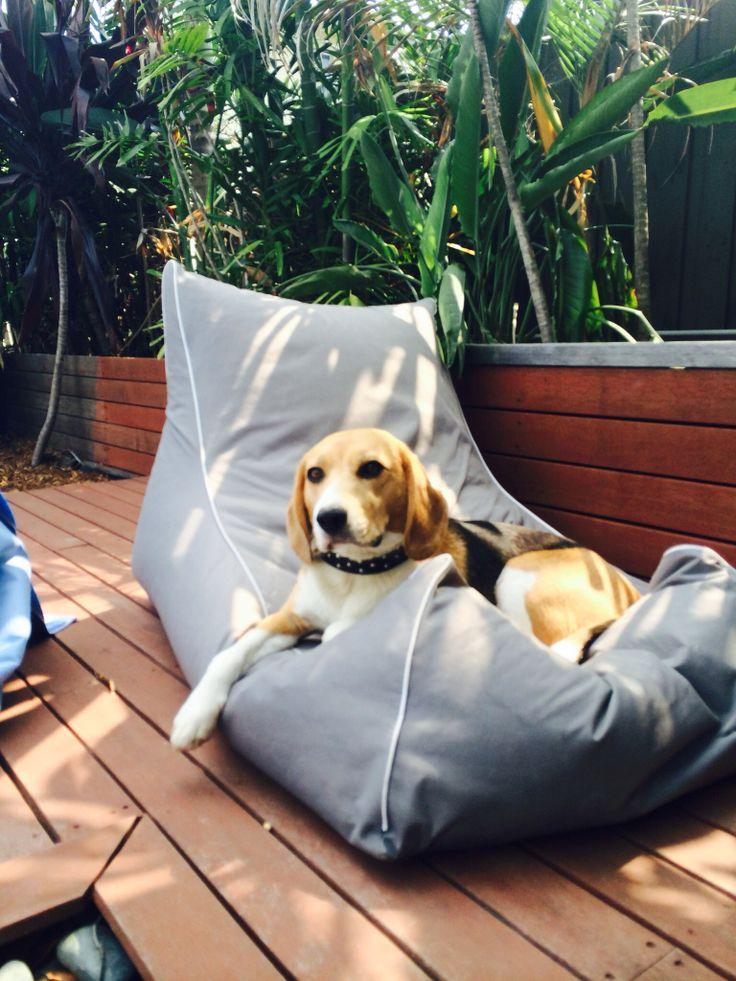 Naughty Beagle