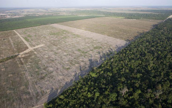 Cattle Grazing Is Now Causing Massive Deforestation Hotspots In The Peruvian Amazon   ThinkProgress